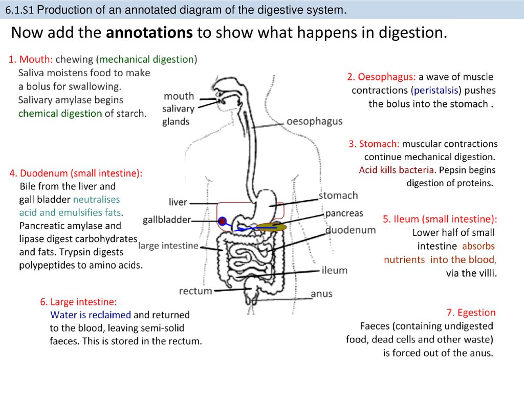 61 Digestion And Absorption Ppt Download What Is Annotated Diagram Now Add The Annotations To Show Happens In