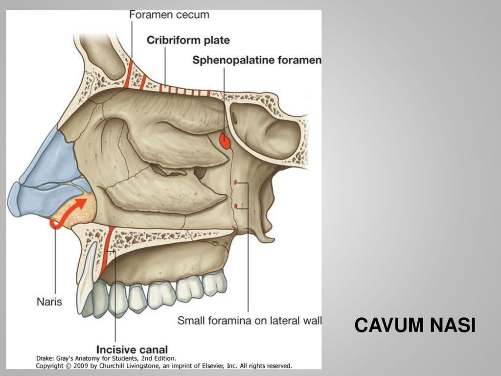 Skull. Semmelweis University, Faculty of Medicine - ppt download