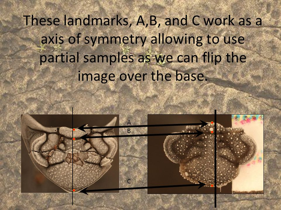 These landmarks, A,B, and C work as a axis of symmetry allowing to use partial samples as we can flip the image over the base.