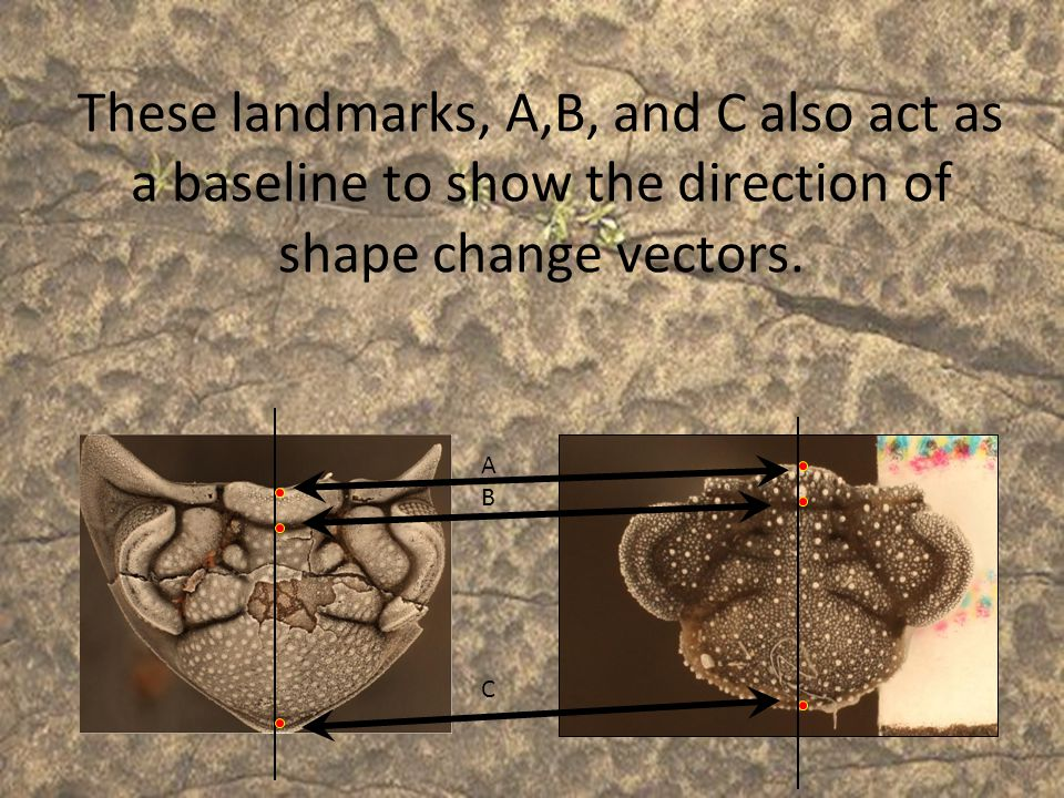 These landmarks, A,B, and C also act as a baseline to show the direction of shape change vectors.