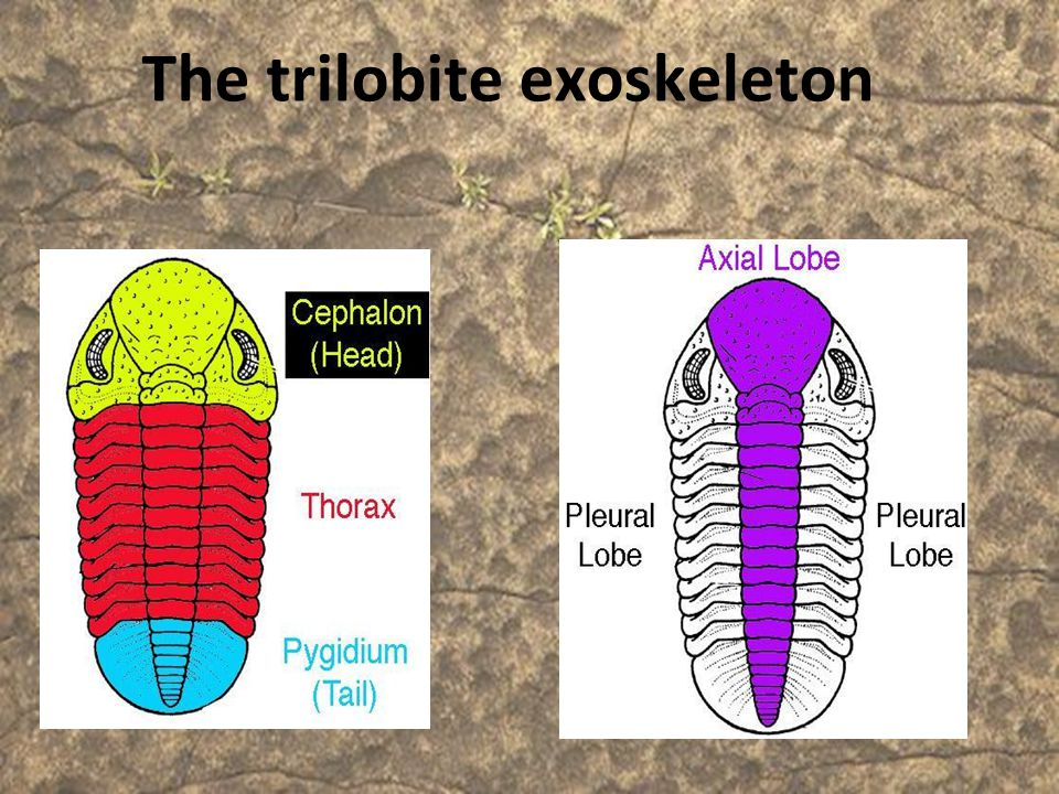 The trilobite exoskeleton