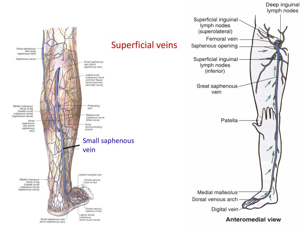 Short Saphenous Vein Incompetence Topsimages