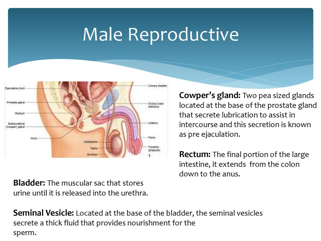 Anatomy of The Reproductive System - ppt download