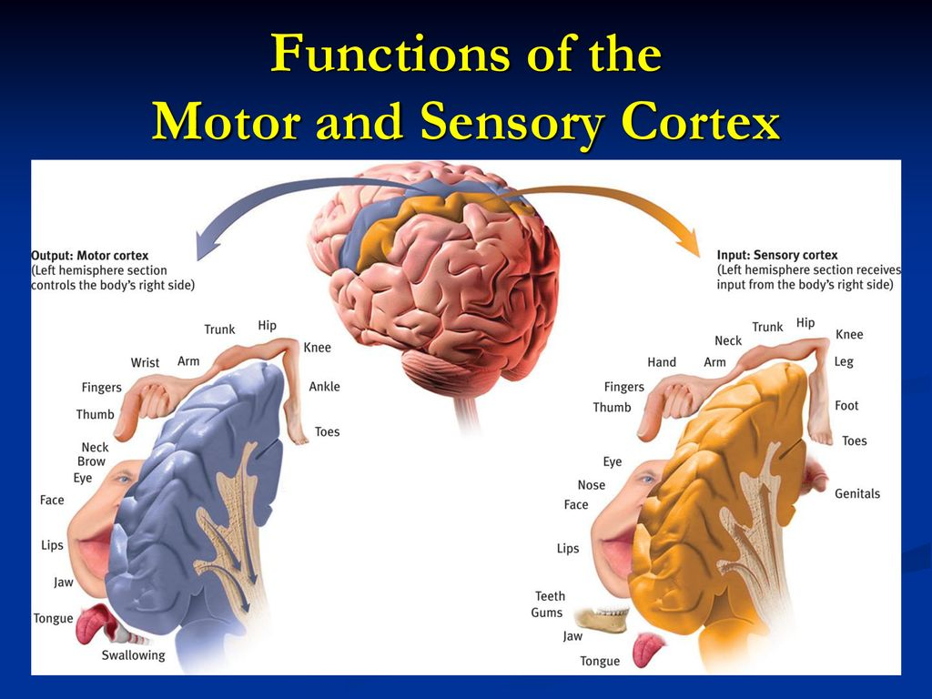 Chapter 2 G The Cerebral Cortex Ppt Download