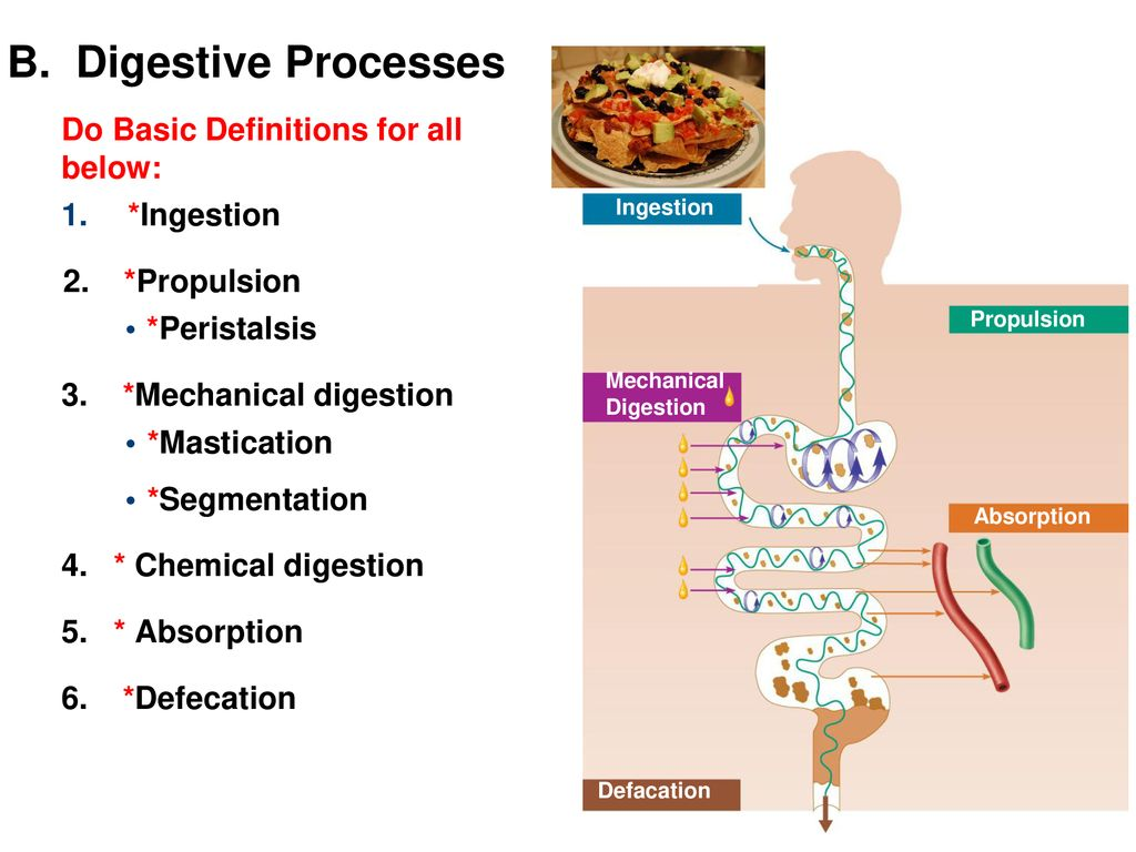 Ch 23 The Digestive System Part 1 Ppt Download
