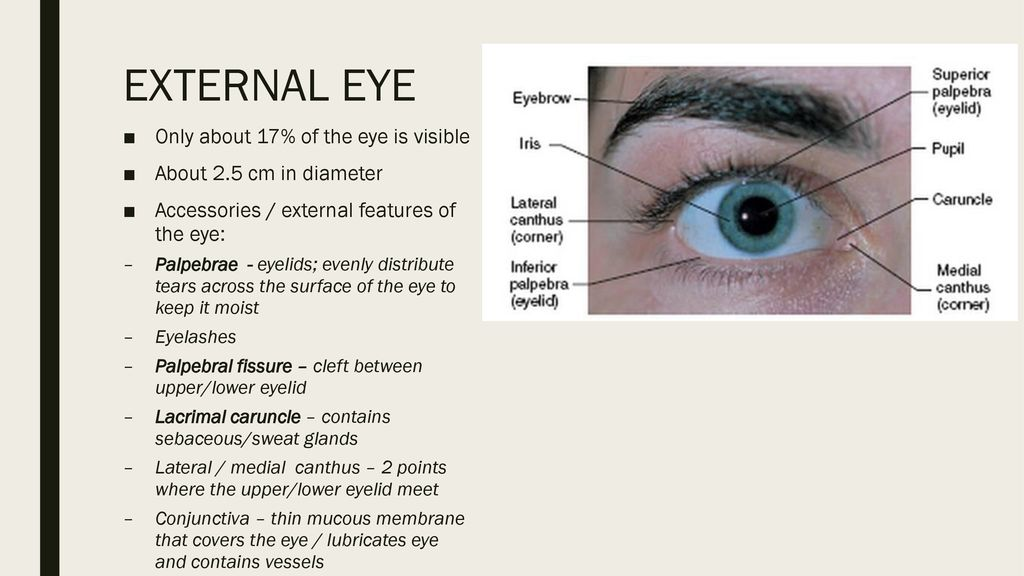 Anatomy Of The Eye Ear Ppt Download
