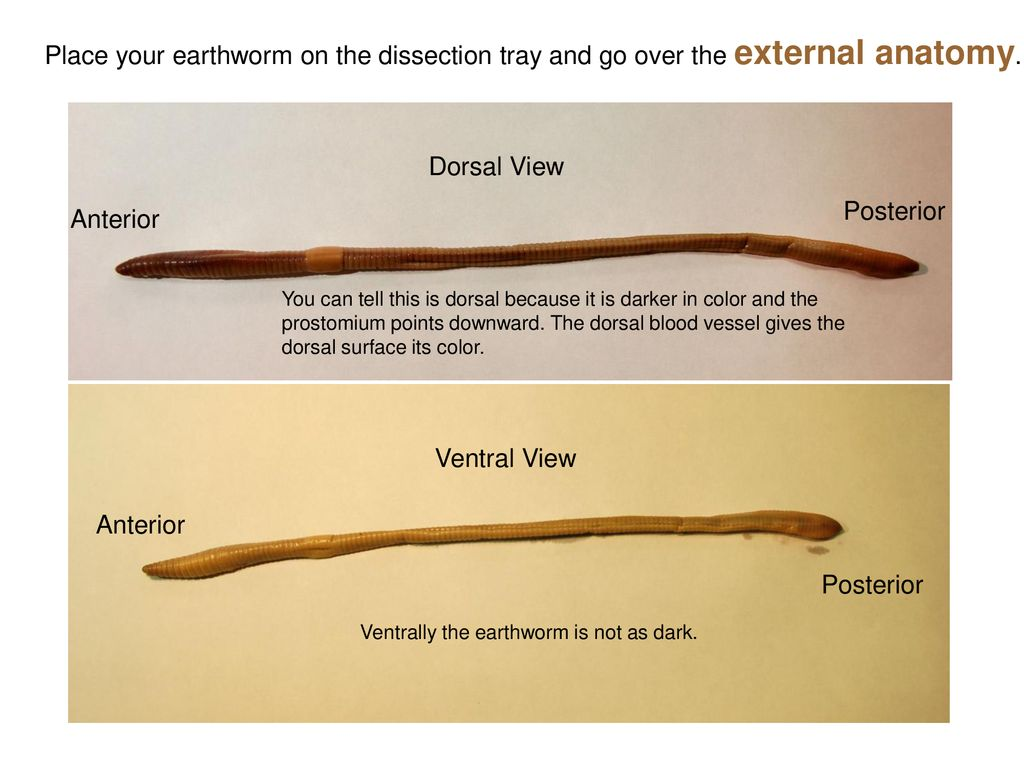 Earthworm Dissection. - ppt download