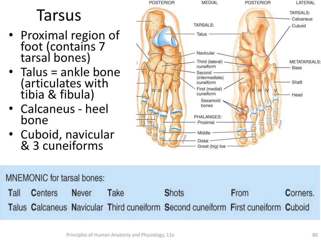 Musculoskeletal system - ppt download