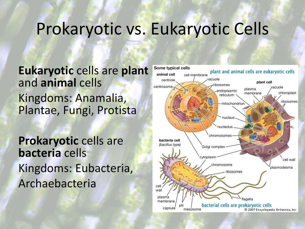 Types Of Cells And Cell Organelles Ppt Download Prokaryotic Vs Eukaryotic