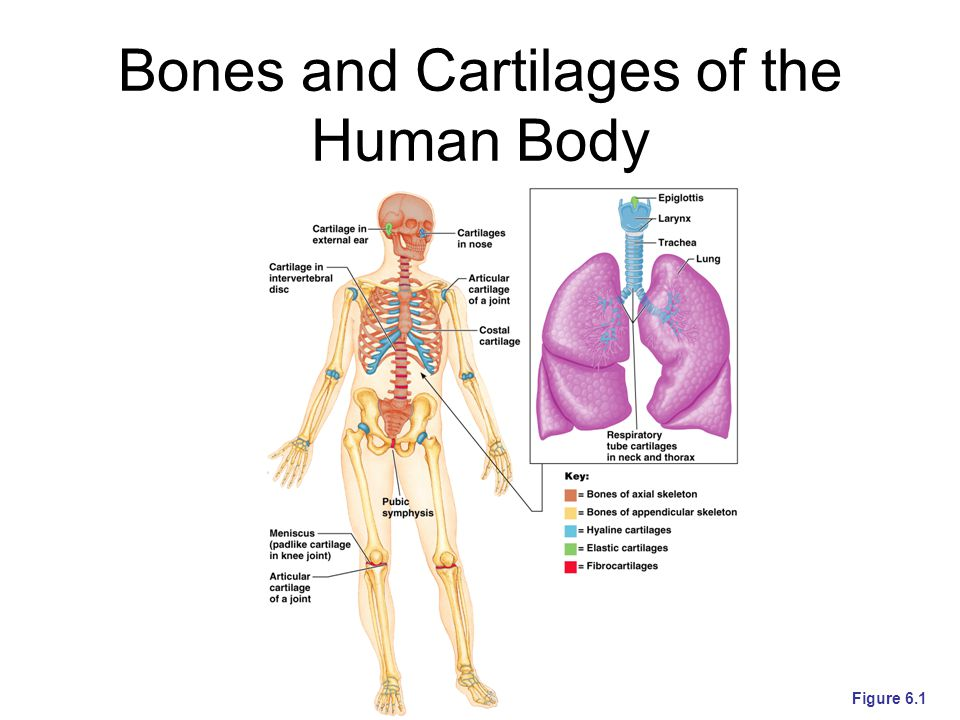 Bones and Cartilages of the Human Body