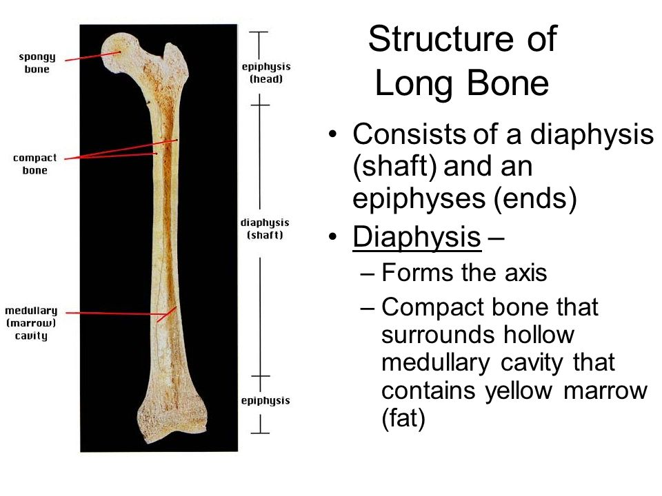Structure of Long Bone Consists of a diaphysis (shaft) and an epiphyses (ends) Diaphysis – Forms the axis.