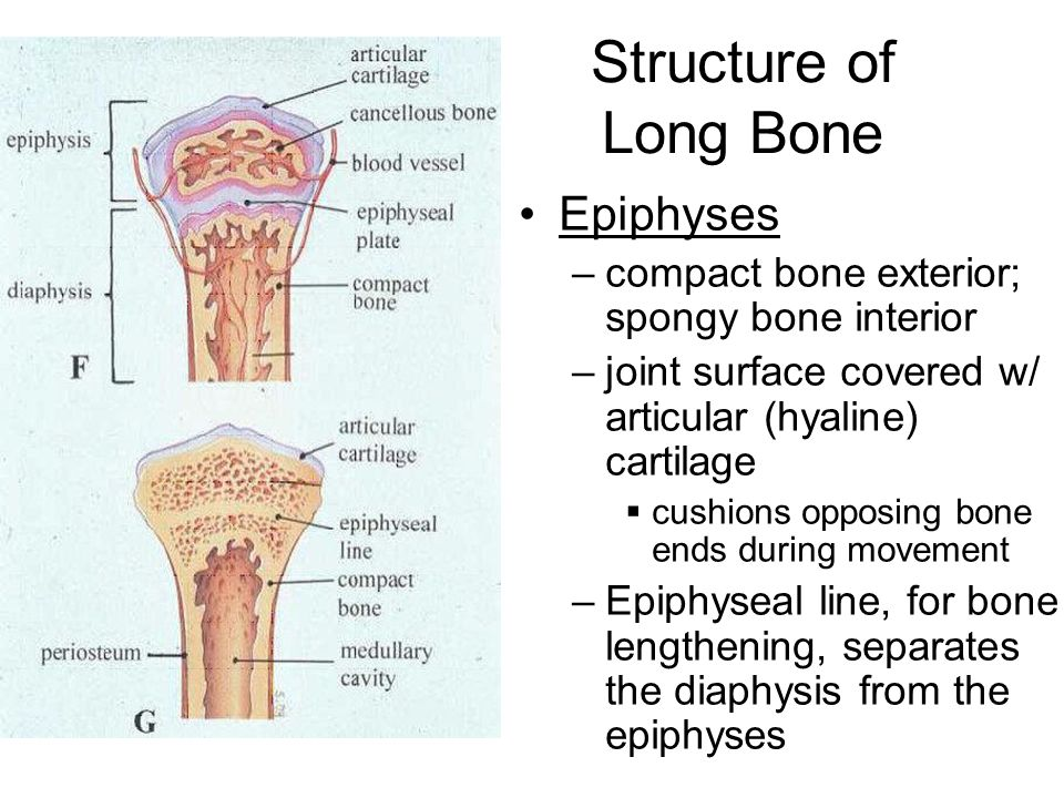 Structure of Long Bone Epiphyses