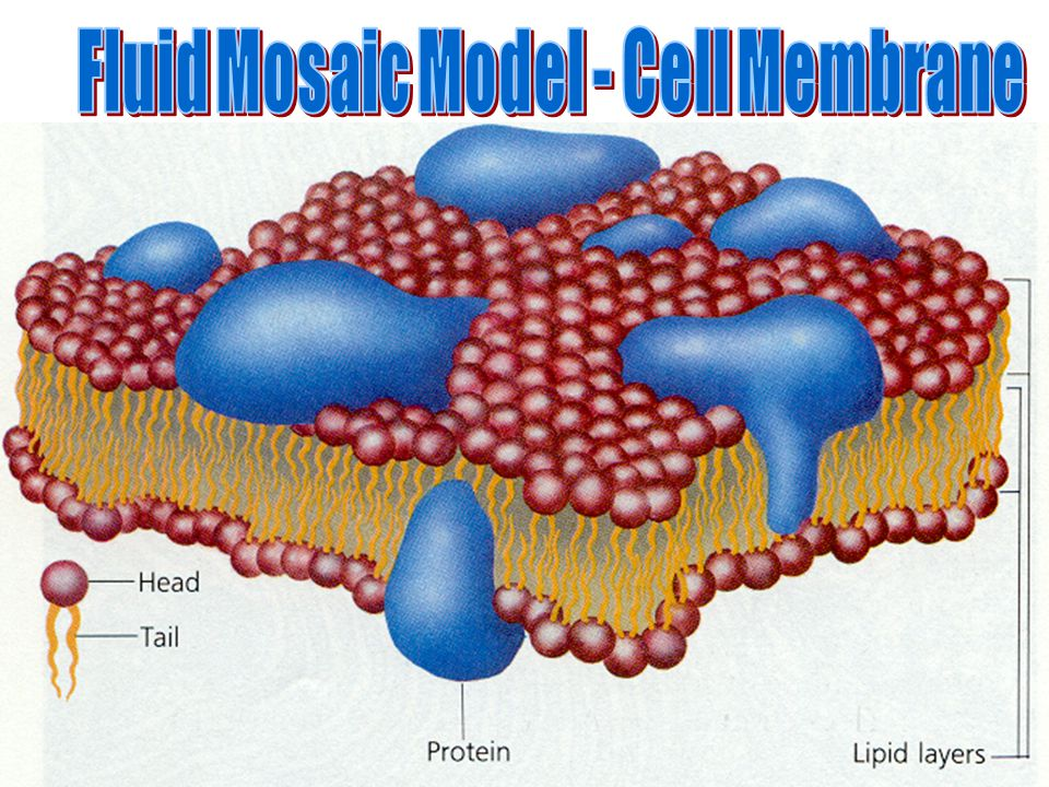 Fluid Mosaic Model - Cell Membrane
