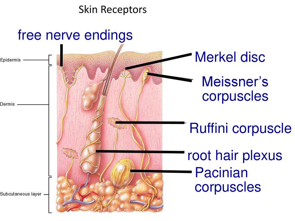 20+ Free Nerve Ending Receptors Gif