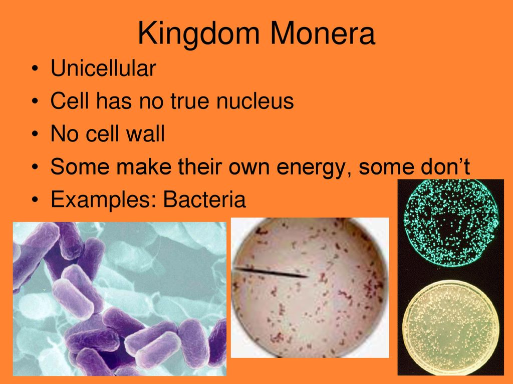 Classification The Five Kingdoms Ppt Download Cells In Monera Kingdom Example Bacteria Are Prokaryotes Did 16 Unicellular