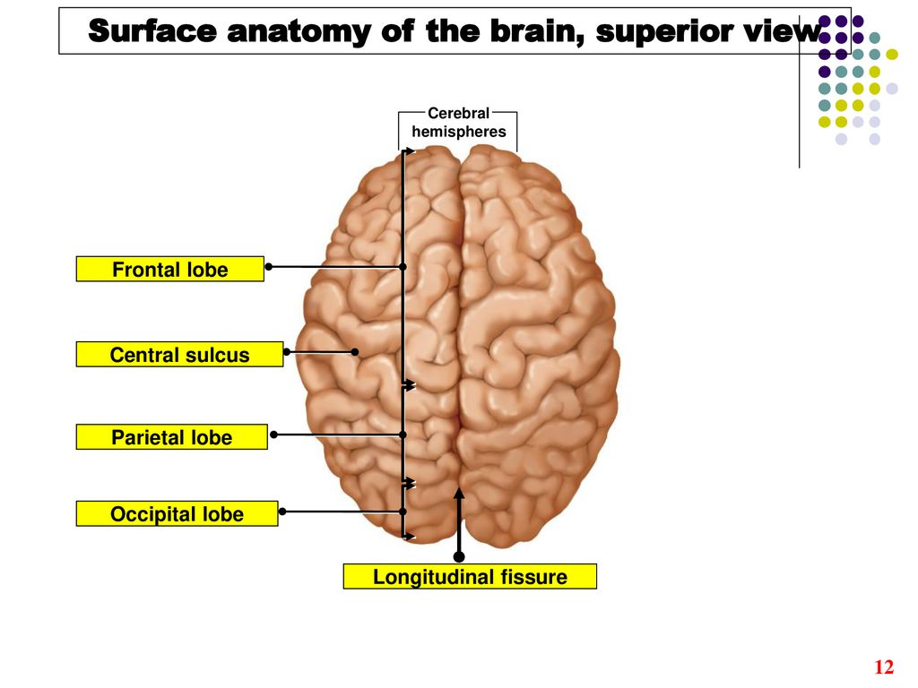 The Brain Ppt Download