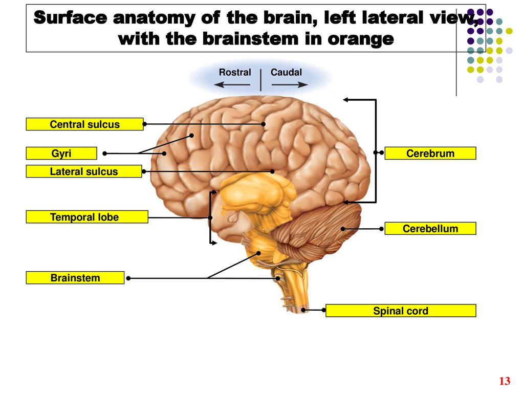 The Brain. - ppt download