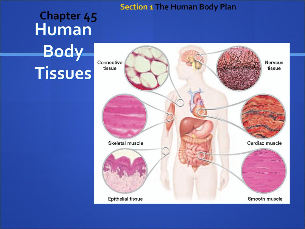 diagram of body tissues wiring diagram features Diagram of Elastic Tissue