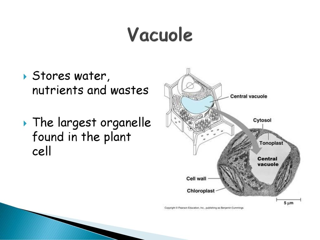 largest organelle in plants
