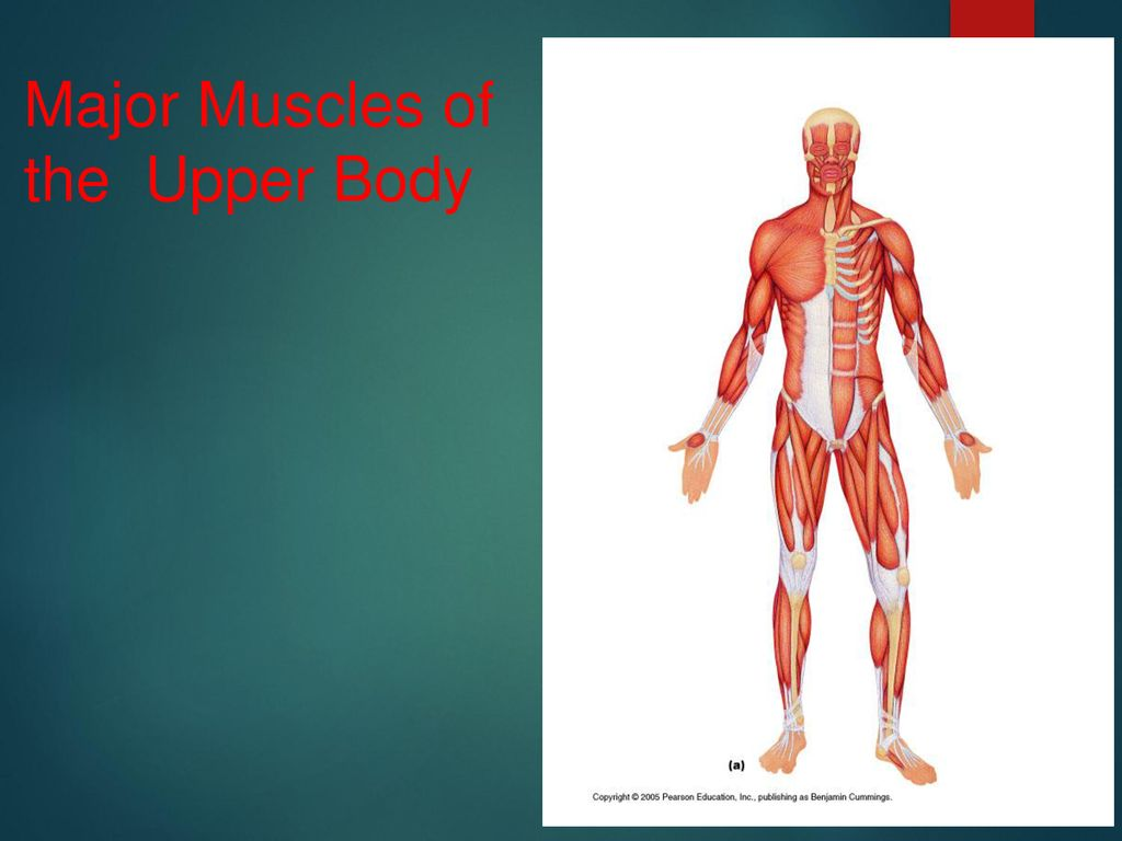 Major Muscles Of The Upper Body Ppt Download
