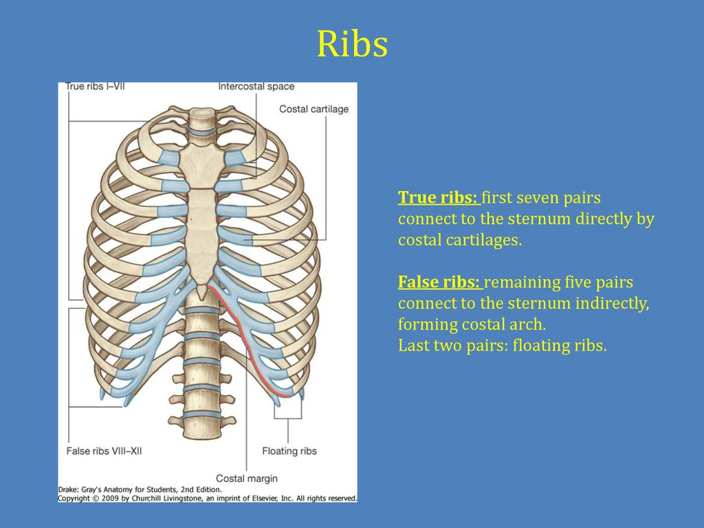 Chest cavity, vertebral column and back muscles. Respiratory muscles ...