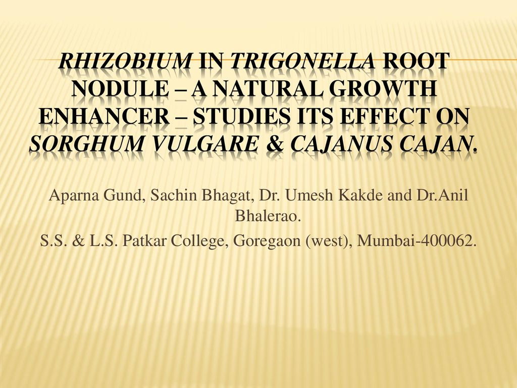 Rhizobium In Trigonella Root Nodule – A Natural Growth