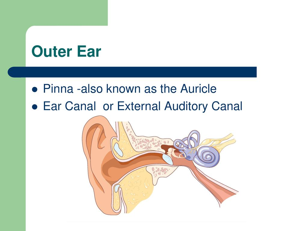 Anatomy of the Ear Parts of the Ear. - ppt download