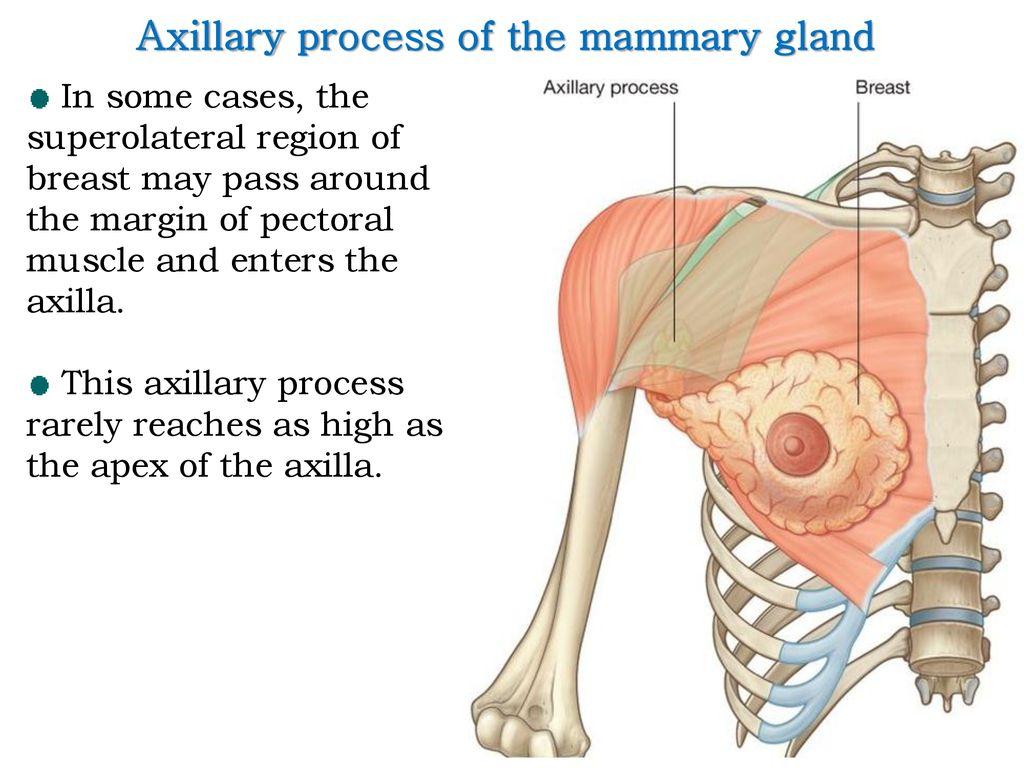 Axilla & Brachial plexus - ppt download