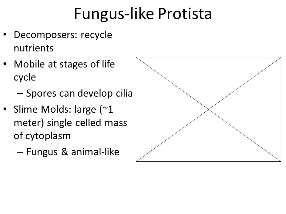 Fungus-like Protista Decomposers: recycle nutrients