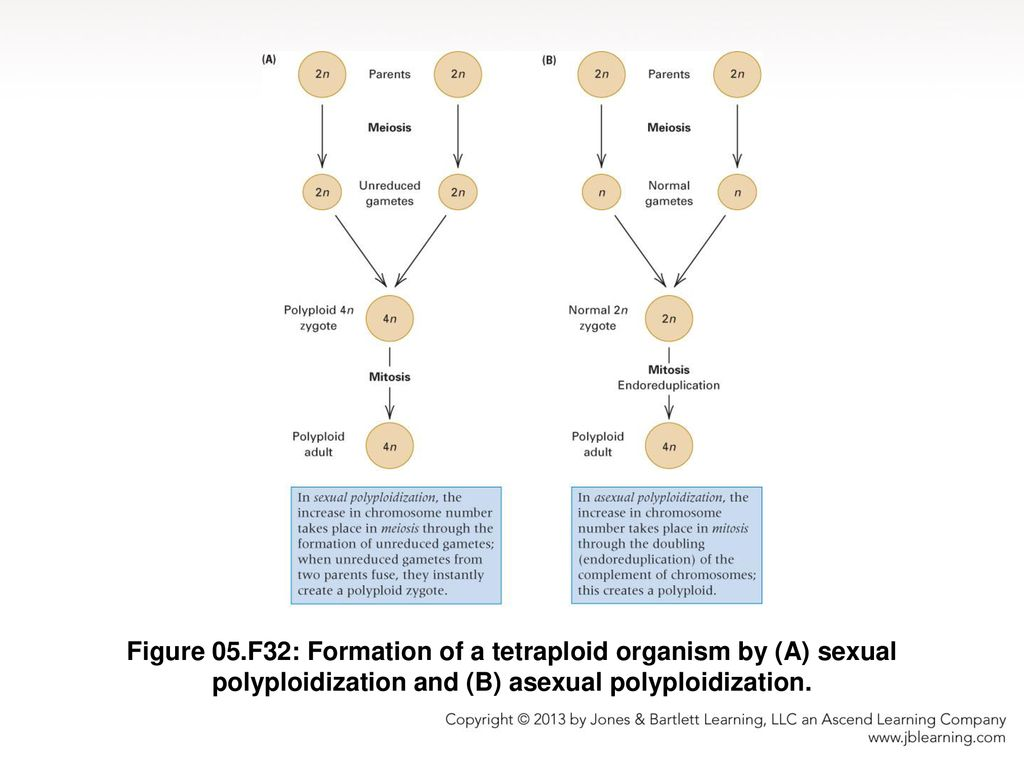 Asexual polyploidization