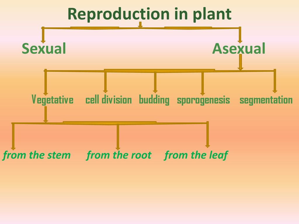Sporogenesis asexual reproduction budding