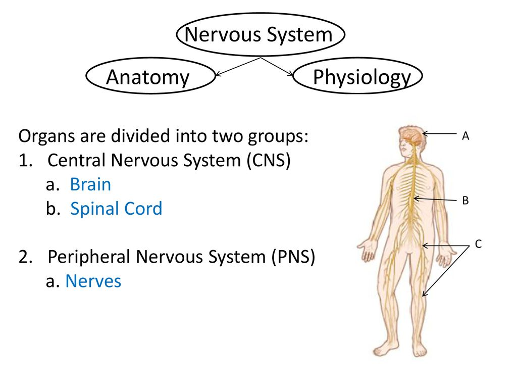 Structures and Functions of the Nervous System - ppt download