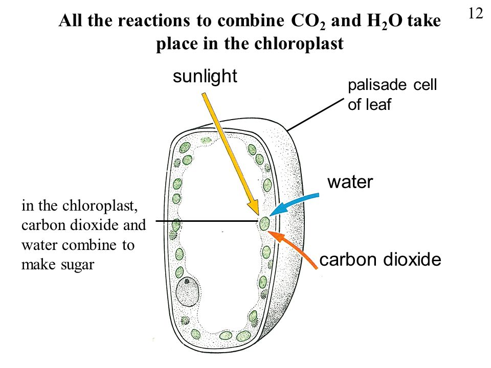 All the reactions to combine CO2 and H2O take place in the chloroplast