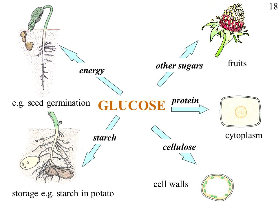 GLUCOSE 18 fruits other sugars energy protein e.g. seed germination