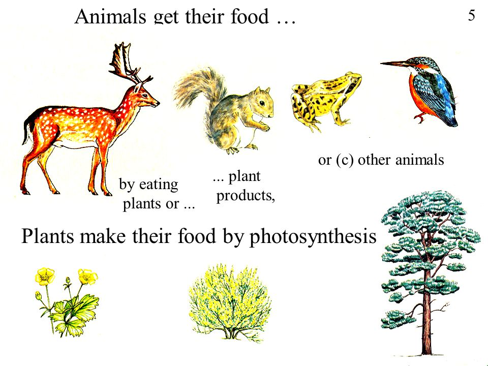 Animals get their food …