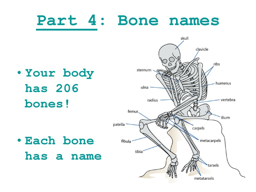 Muscles And Bones Ppt Download