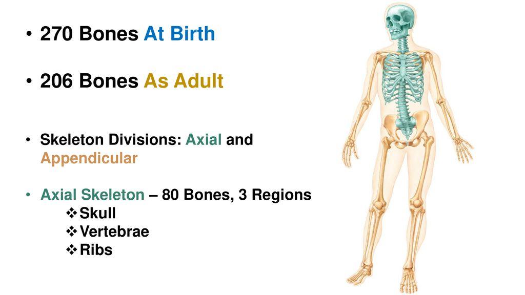 Chapter 7 Skeletal System Ppt Download