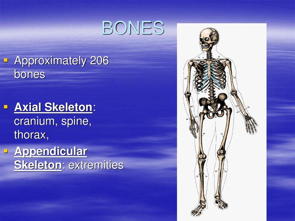 Bones How many??? ppt download