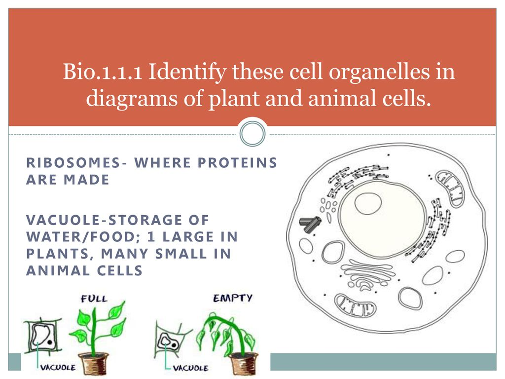 bio identify these cell organelles in diagrams of plant and animal cells