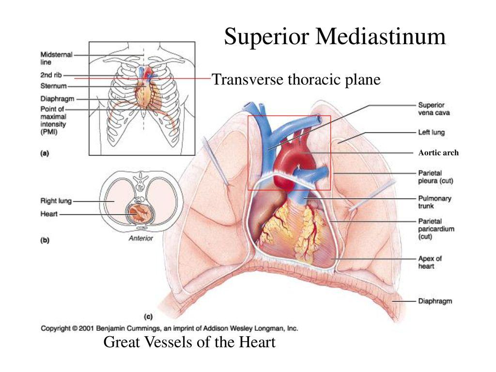 Clinical Anatomy Tony Serino, Ph.D ppt download