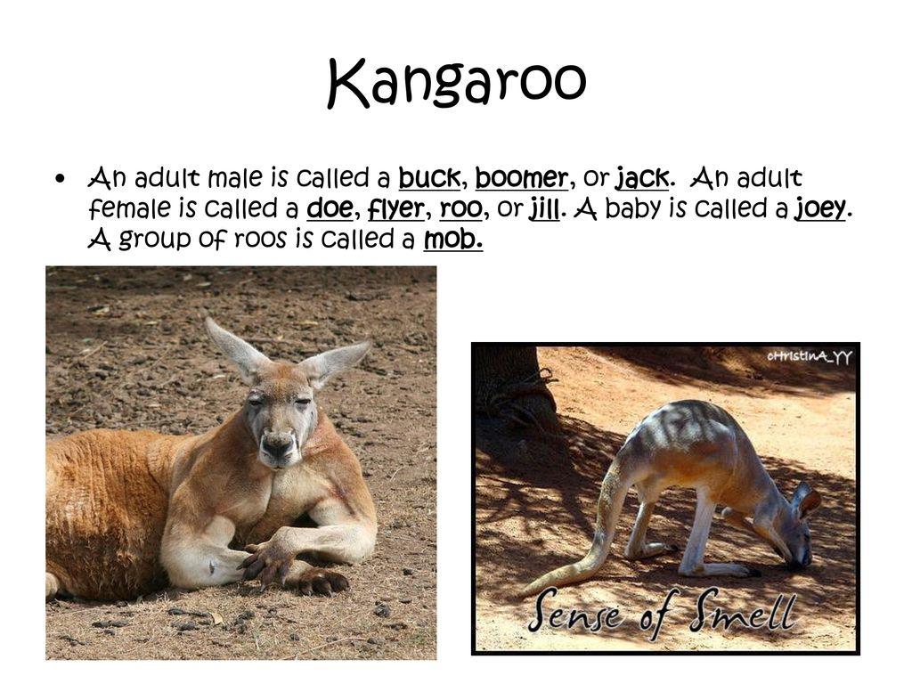 Marsupials  - ppt download