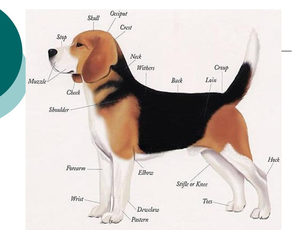 Dogs- Part I Breeds Small Animal Care Breed Pictures From - ppt download