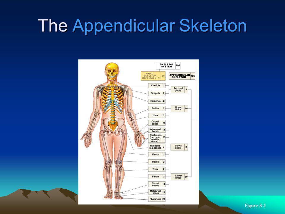 Chapter 8 The Appendicular Skeleton AP Biology Ppt Video Online