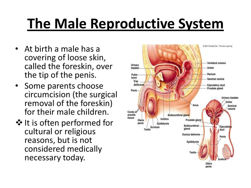 The Human Reproductive System Ppt Download