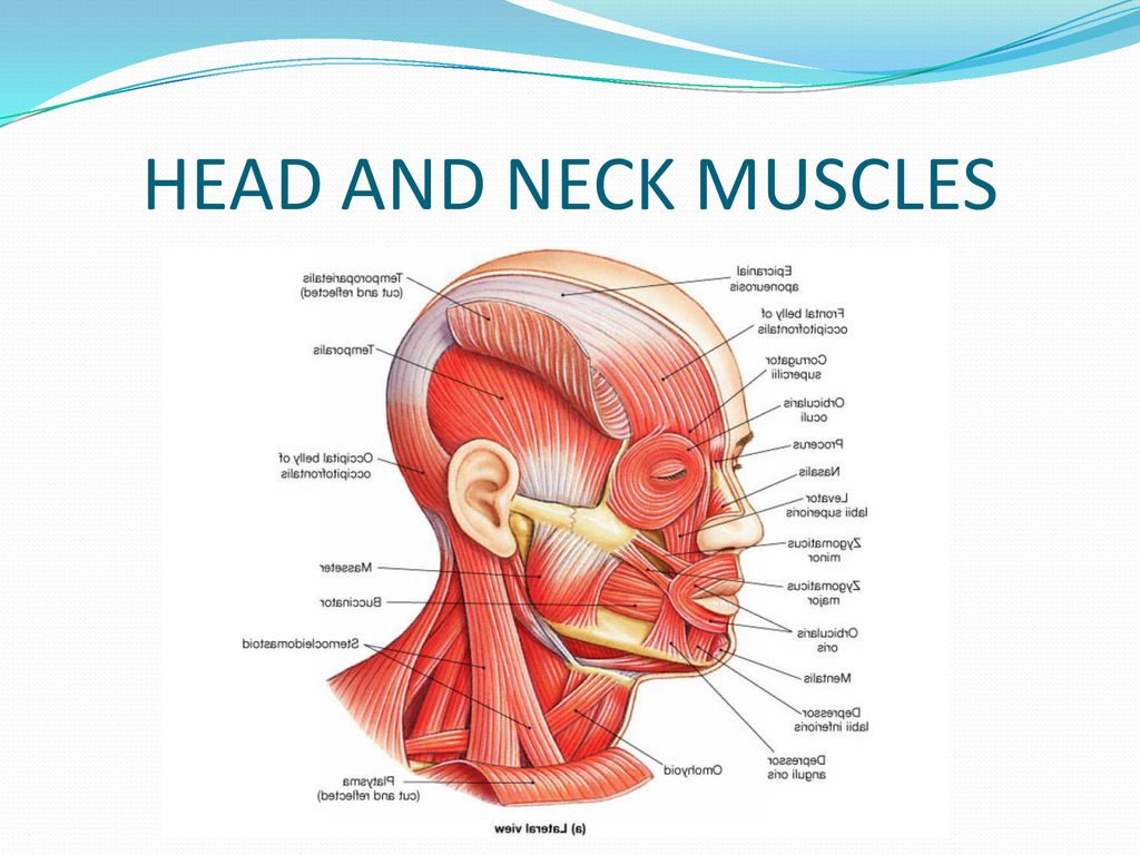 Thoracic And Headneck Muscles Ppt Download