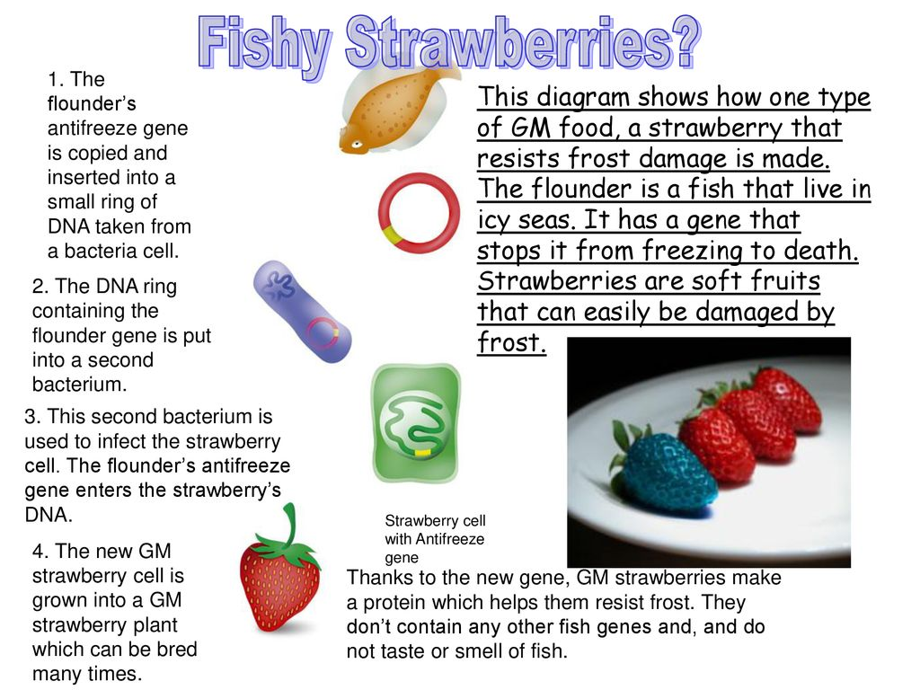 Aim How Can We Develop Organisms With Desirable Traits Do Now Strawberry Plant Diagram Fishy Strawberries 1 The Flounders Antifreeze Gene Is Copied And Inserted Into A Small Ring
