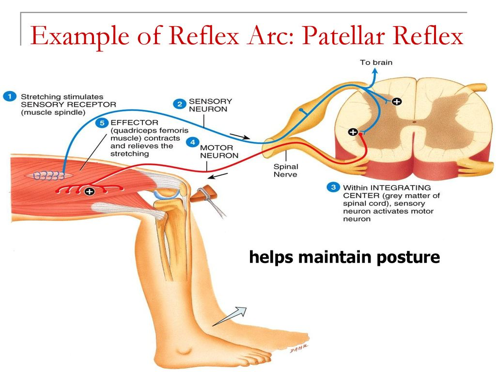which muscles contracted with the patellar reflex