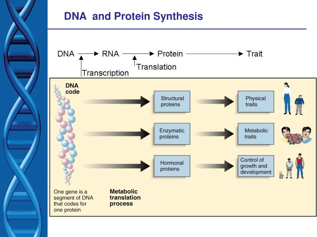 The Central Dogma Through the production of mRNA
