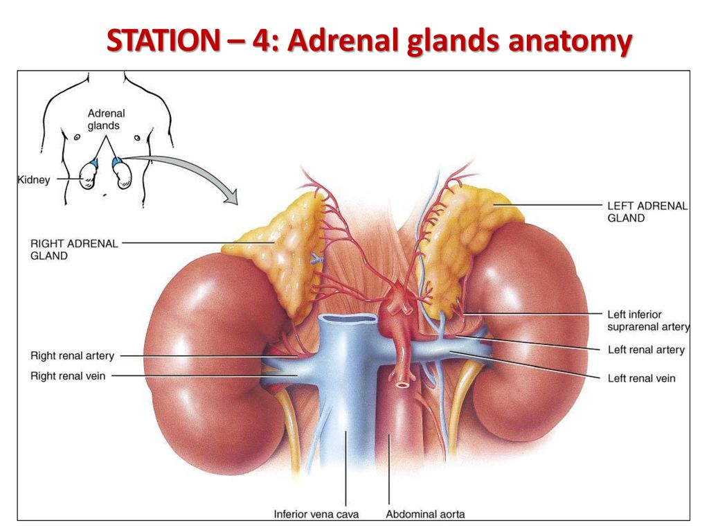 Adrenal Artery And Vein | www.topsimages.com