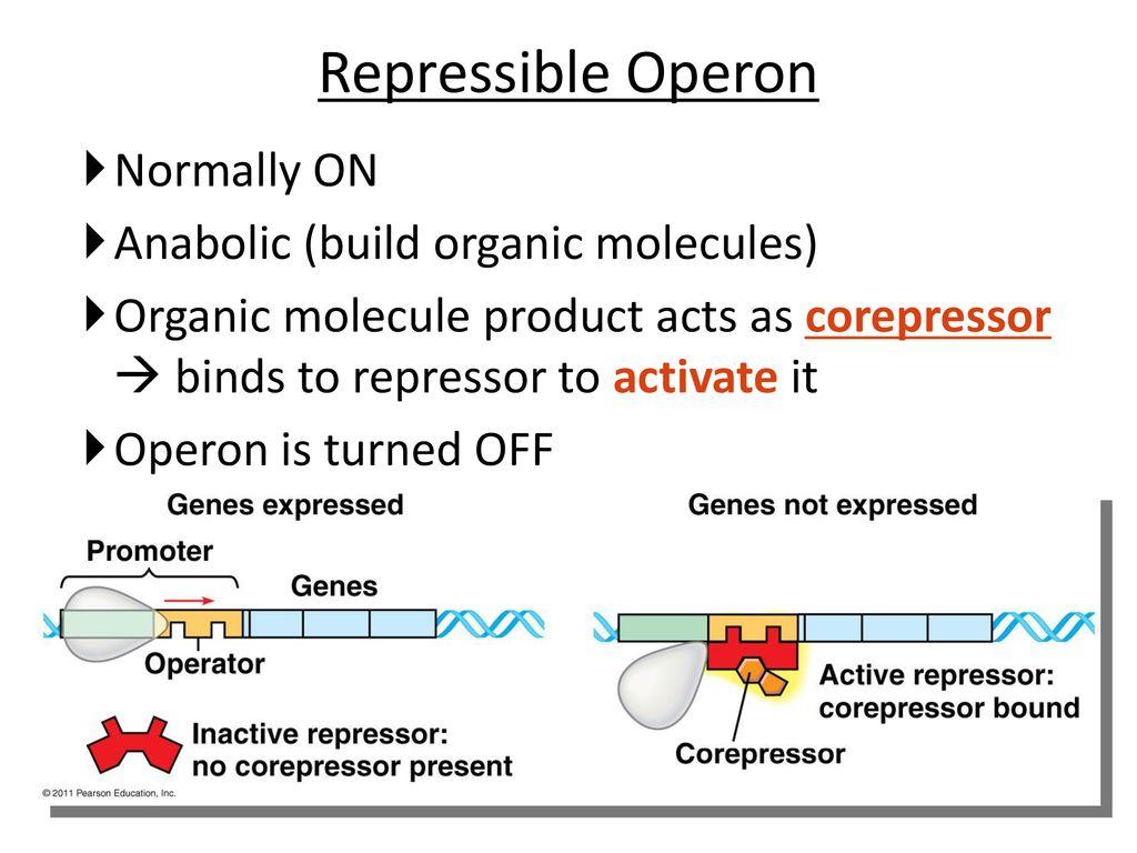 Regulation Of Metabolic Pathways Ppt Download Prokaryoticcelljpg 5 Repressible
